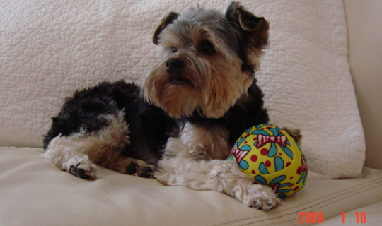 Related Pictures http m5x eu yorkie puppy haircuts