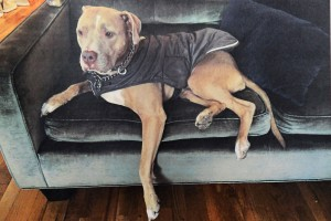 Morgan Bogle is offering $5,000 for the return of her pit bull, Sugar, who was lost when a dog walker apparently went bonkers.