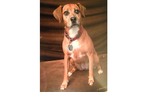 Lost Dog - Boxer/beagle Mix in Mount Joy, PA ...