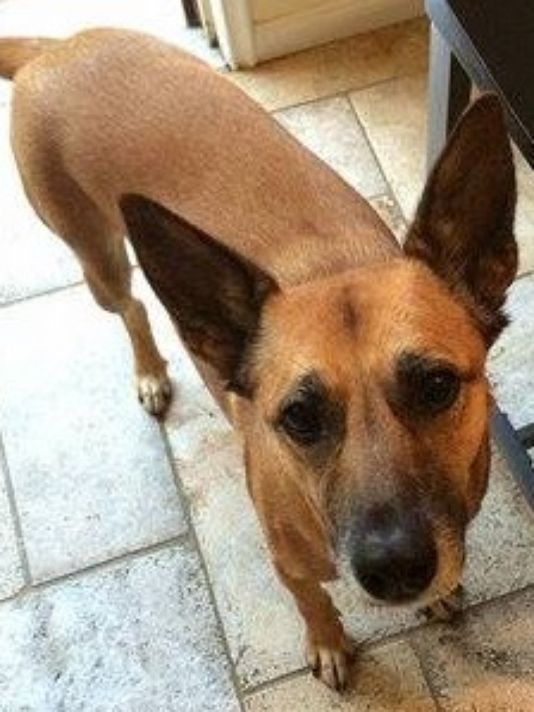 Sahara, a brown Belgian Malinois, has been missing since last weekend.